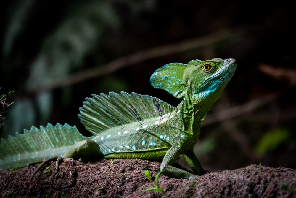 Costa Rica wildlife: male plumed basilisk (Basiliscus plumifrons), also called the green basilisk, the double crested basilisk, or the Jesus Christ lizard at Tortuguero National park, Costa Rica.