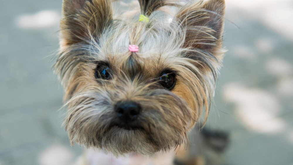 teacup yorkie puppy with a bow in its hair