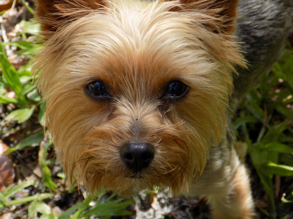 teacup yorkie looking at the camera