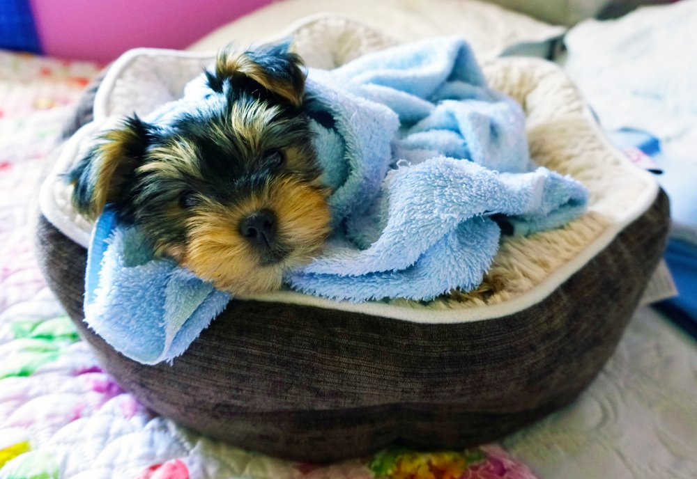 teacup yorkie puppy in a bed