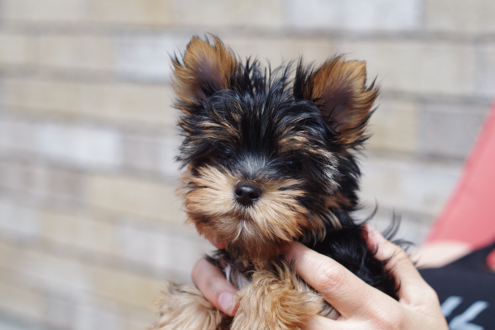 teacup yorkie puppy ready to play