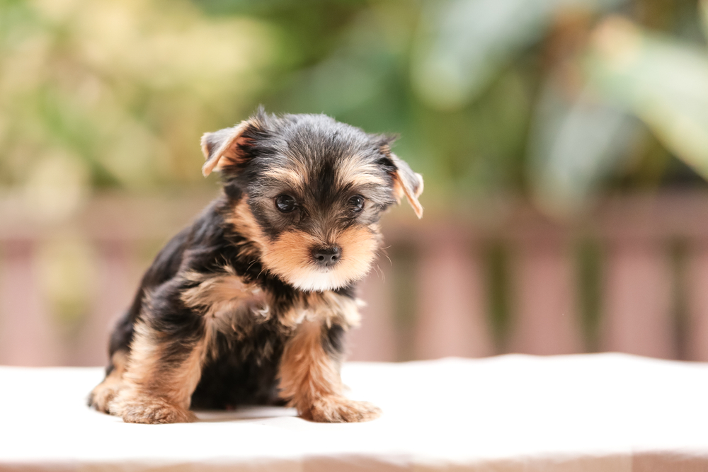 teacup yorkie puppy being cute for the camera